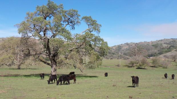 Cows at 1X zoom.